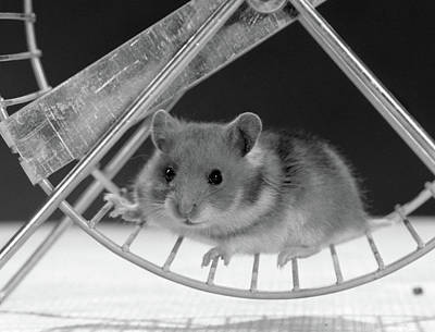 Pet Health Photograph - Hamster On Exercise Wheel Looking by Vintage Images