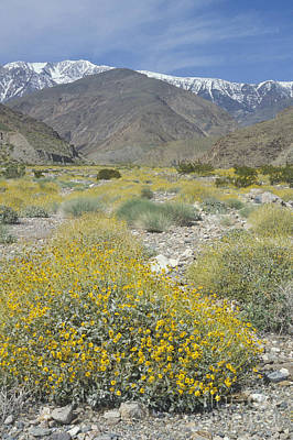 Photograph - Hanaupah Canyon Wildflowers by Dan Suzio
