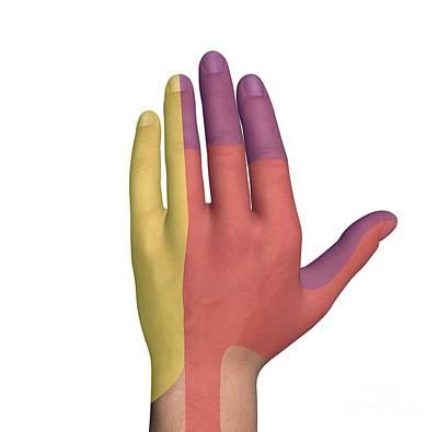 Hand Dorsal Nerve Regions, Artwork Art Print by D & L Graphics