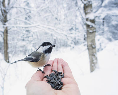Human Survival Photograph - Hand Feeding A Black-capped Chickadee by Julie DeRoche