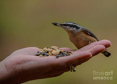 Photograph - Hand Feeding A Nuthatch by Cheryl Baxter