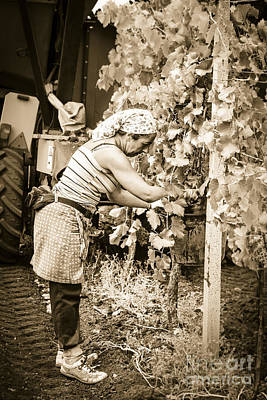 Hand Pickers Following The Mechanical Harvester Harvesting Wine  Art Print