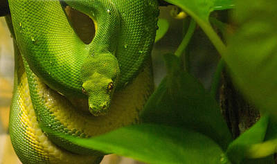 Photograph - Handsome Green Tree Python 1 by Douglas Barnett