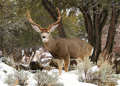 Verdi Photograph - Handsome Buck by Donna Kennedy
