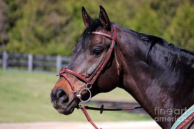 Photograph - Handsome Gelding by Janice Byer