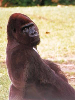 Photograph - Handsome Gorilla by Belinda Lee