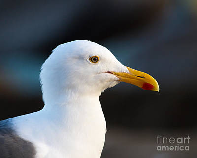 Art Print featuring the photograph Handsome Gull by Dale Nelson