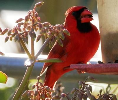 Handsome Red Male Cardinal Visiting Art Print by Belinda Lee