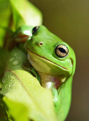 Photograph - Hang In There Frog by David Clode