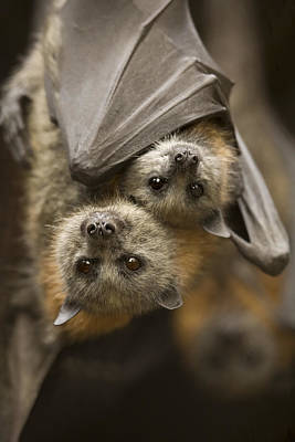 Bat Photograph - Hang In There by Mike  Dawson