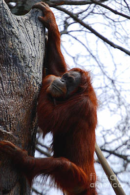 Orangutan Mixed Media - Hang In There by Nancy Bradley