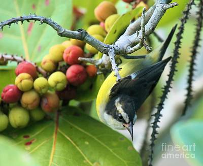 Photograph - Hanging Bananaquit by Adam Jewell