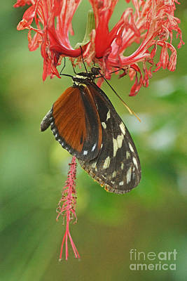 Photograph - Hanging Monarch Butterfly by Rudi Prott