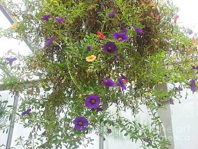 Lamberton Conservatory Photograph - Hanging Flowers by Charlotte Gray