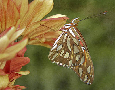 Gulf Fritillary Photograph - Hanging In There by David and Carol Kelly