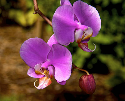 Hanging Orchids Art Print by Kathi Isserman