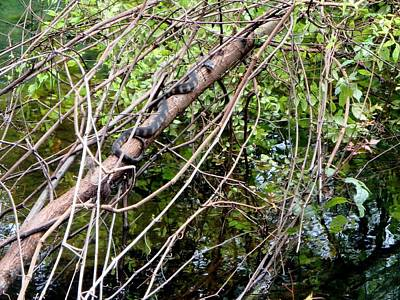 Photograph - Hanging Out 1 Banded Water Snake 1 by Sheri McLeroy