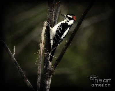 Hairy Woodpecker Photograph - Hanging Out by Cris Hayes