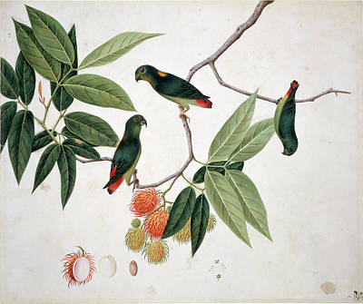 Hanging Parrot Art Print by Natural History Museum, London