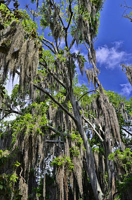Photograph - Hanging Spanish Moss 3 by Allen Beatty