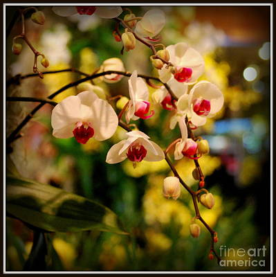 Organic Photograph - Hanging White Orchids by Nancy Mueller