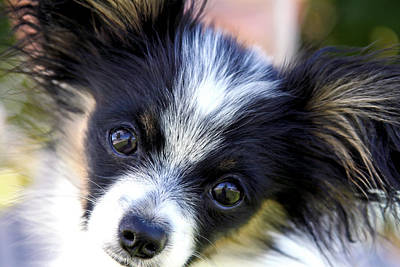 Photograph - Hanna The Papillon Puppy by Karon Melillo DeVega