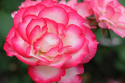 Photograph - Hannah Gordon Floribunda Rose by Allen Beatty