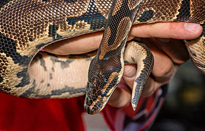 Burmese Python Photograph - Hannibal by Steve Harrington