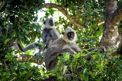 Feeding Photograph - Hanuman Langurs Feeding by Paul Williams