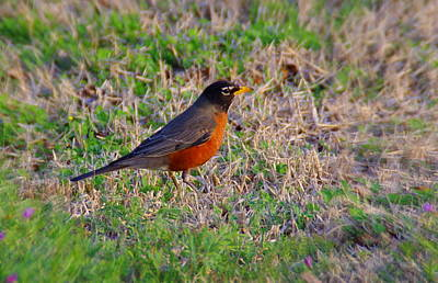 Photograph - Hap Hap Happy Robin  by Walter  Holland