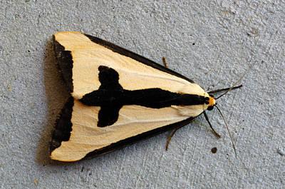 Photograph - Haploa Tiger Moth by John W. Bova