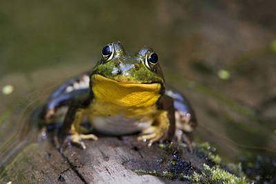 Photograph - Happy Frog by Christina Rollo