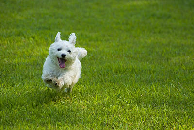 Maltese Photograph - Happiness Is Running Free #1 by Pat Exum