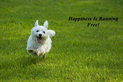 Maltese Photograph - Happiness Is Running Free by Pat Exum