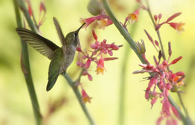 Photograph - Happy As A Hummingbird  by Saija  Lehtonen
