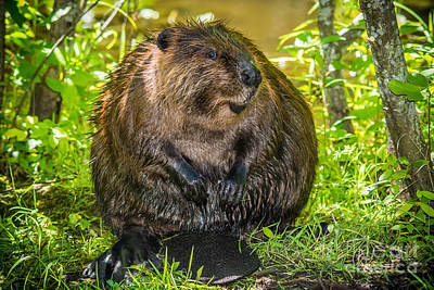 Photograph - Happy Beaver by Cheryl Baxter