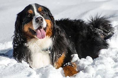 Bernese Mountain Dog Photograph - Happy Bernese Mountain Dog In Winter Snow by Gary Whitton