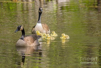 Photograph - Happy Canadian Geese by Cheryl Baxter