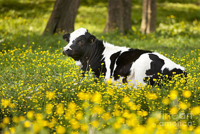 Photograph - Happy Cow by Brian Jannsen