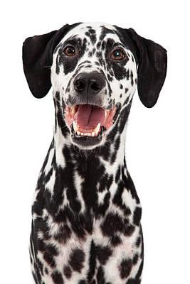 Dalmatian Photograph - Happy Dalmatian Dog Smiling by Susan Schmitz
