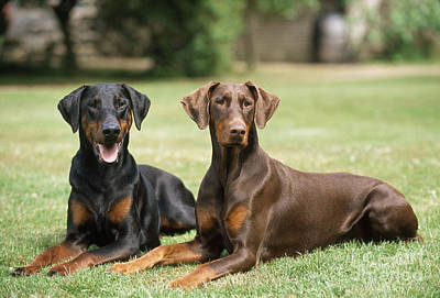 Doberman Pinscher Wall Art - Photograph - Happy Dobermans by John Daniels