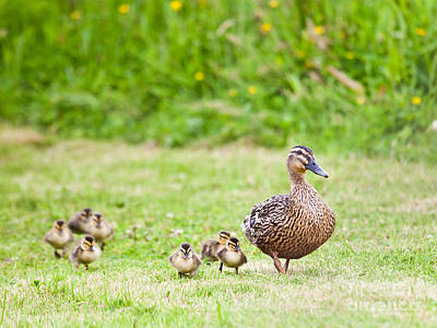 Duck Photograph - Happy Family by Liz Leyden
