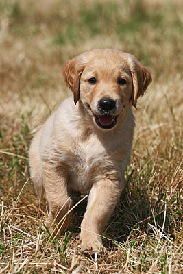 Photograph - Happy Golden Retriever Puppy by Dog Photos