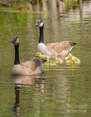Photograph - Happy Goose Family by Cheryl Baxter