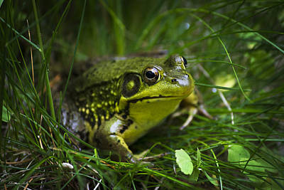 Photograph - Happy Green Frog by Christina Rollo