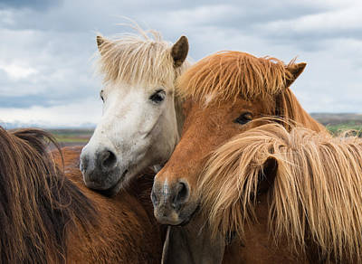 Photograph - Happy Horse Friends In Iceland by Matthias Hauser