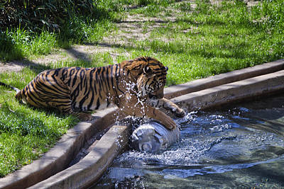 Tiger Photograph - Happy Hour by Joan Carroll