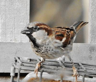 Photograph - Happy House Sparrow by VLee Watson
