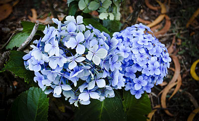 Photograph - Happy Hydrangea by Christi Kraft