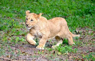 Photograph - Happy Lion Cub by Richard Bryce and Family
